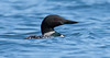 The Common Loon or Great Northern Loon, Gavia immer on the Atlantic Ocean, Phippsburg, Maine