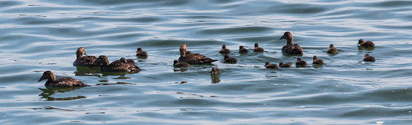 A group of Common Atlantic Eider hens squiring around two day old chicks, Totman Cove, Phippsburg, Maine June 8. They were born on the 7th.
