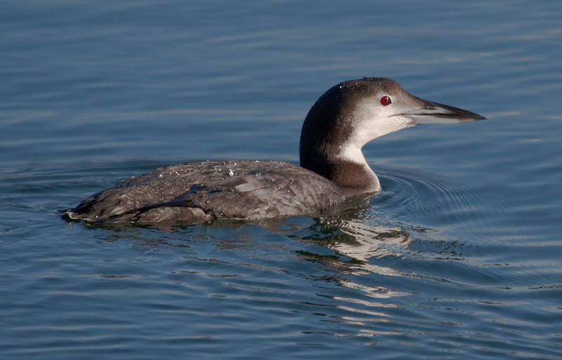 Common Loon, Non Breeding Plumage