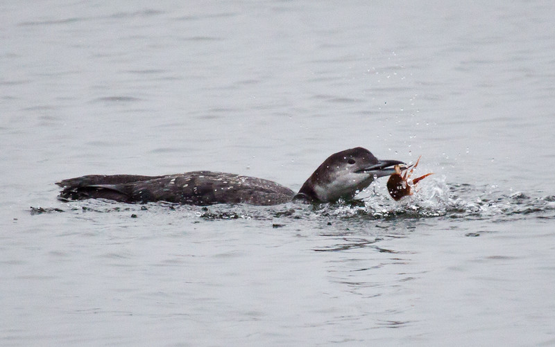 Common Loon Eating Crab
