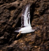 Spotted Sandpiper in Flight, Phippsburg Maine
