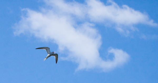 Common tern adult bird in flight with swirling clouds in the summer sky, Phippsburg, Maine, photography, photograph, image, nature, wildlife