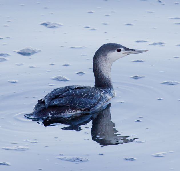 Red-Throated Loon side view, partial rear view, right facing, red eye, Totman Cove, Phippsburg, Maine winter bird, Small Point Harbor, Casco Bay
