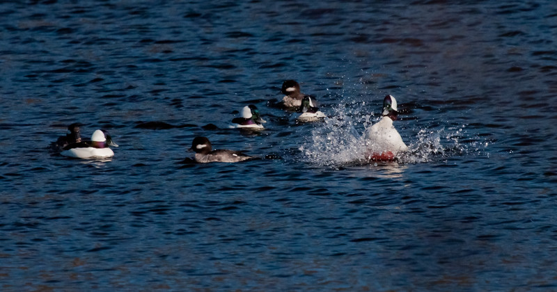 Buffleheads, drakes and hens, drake coming in for a landing, Phippsburg Maine