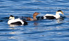 Common Atlantic Eider Drakes With Eider Hen, Courtship