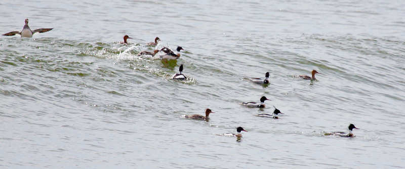 Red Breasted mergansers riding surf, Totman Cove, Phippsburg, Maine