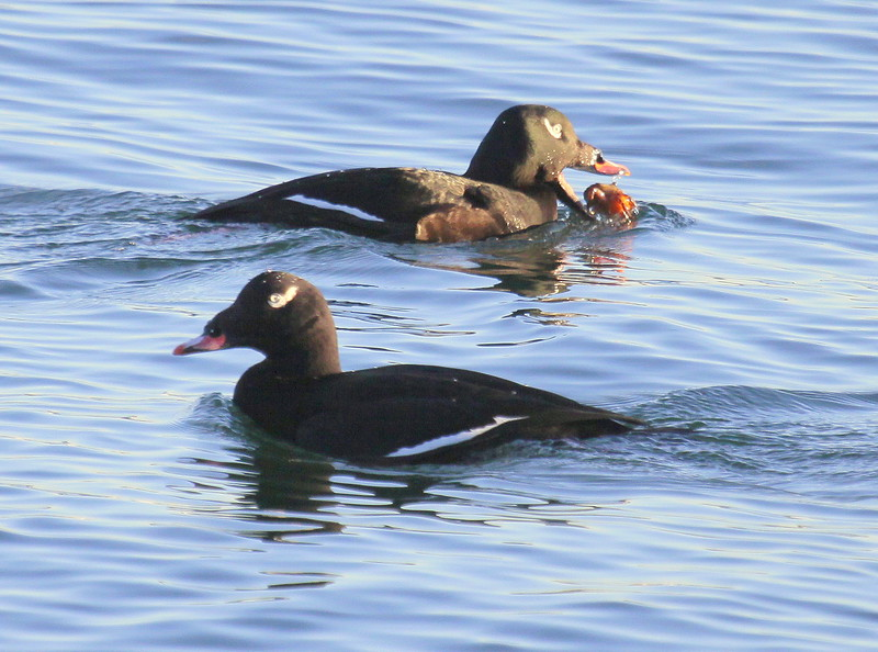 White-winged Scoter Eating Crab, Pair, side view, right facing, left facing, close up, Phippsburg Maine four season birds