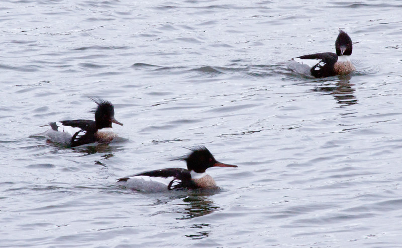 Three Red Breasted Merganser drakes swimming together, Phippsburg, Maine, Totman Cove on Casco Bay