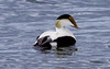 Common Atlantic Eider Drake