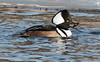 Hooded Merganser drake with crab, January Woolwich, Maine
