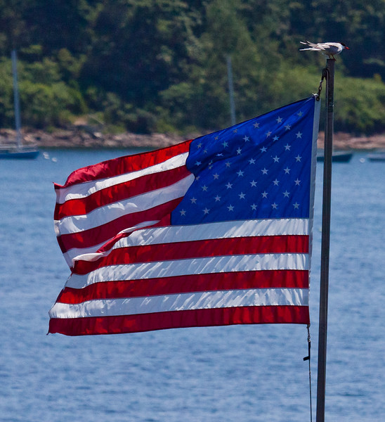 Common tern perched on flag pole, American flag, Totman Cove, Phippsburg, Maine