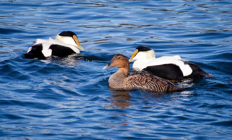 Common Atlantic Eider Drakes And Hen, Courtship
