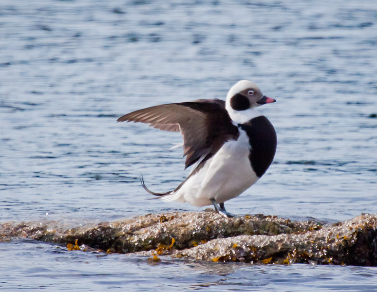 Long-tailed Duck standing on rocks on shore while wing stretching, Phippsburg, Maine Totman Cove