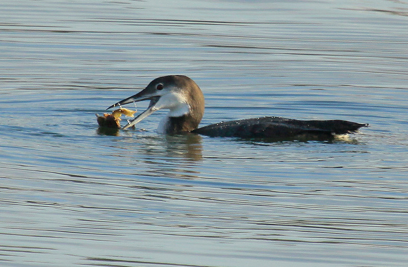 Common Loon, Non Breeding Plumage Eating Crab