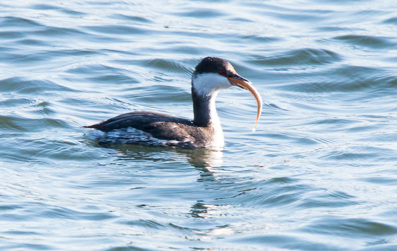Horned grebe with fish, Totman Cove, Phippsburg, Maine December 27