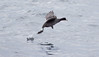 American Coot on the Atlantic Ocean, Casco Bay, an unusual migratory duck to see in late October on the ocean