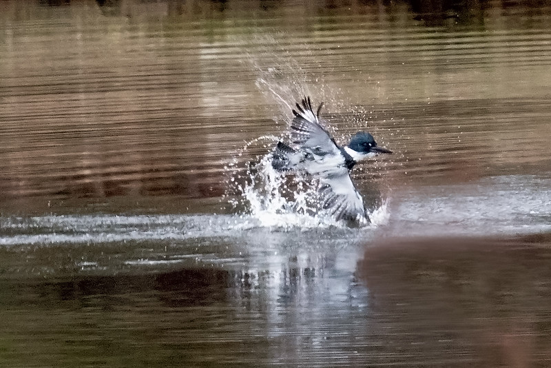 Belted Kingfisher fishing, splashing across water surface, Phippsburg, Maine