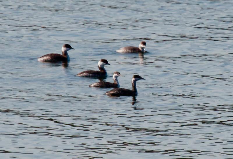 Red-necked Grebes, flotilla, flock, Phippsburg Maine Totman Cove November