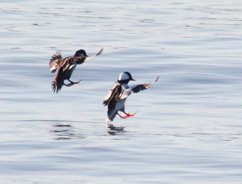 Bufflehead Hen And Drake in flight landing on water, Phippsburg, Maine, ducks, seabirds, Atlantic Ocean, Totman Cove, Casco Bay, Small Point Harbor diving ducks winter