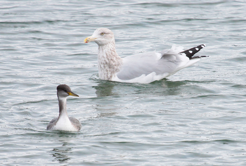 Red necked  Grebe a diving bird, Totman Cove, Phippsburg, Maine winter bird with first year Herring gull for size comparison,