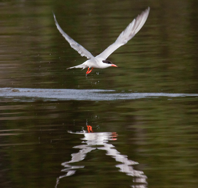 Common Tern Reflection