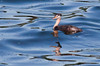 Early Red-necked Grebe, Phippsburg, Maine