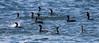Double -Crested Cormorant Flotilla