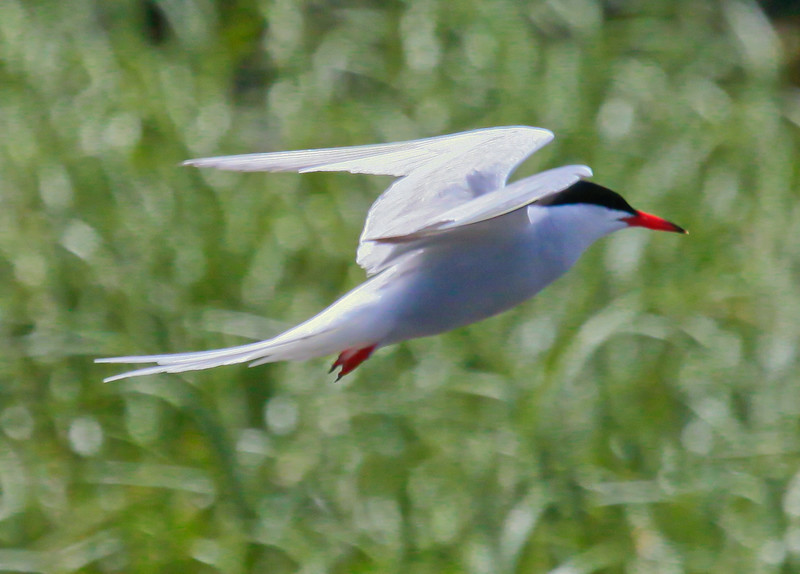 Common Tern Flight, side view, right facing, close up, summer diving bird, Phippsburg, Maine, Totman Cove
