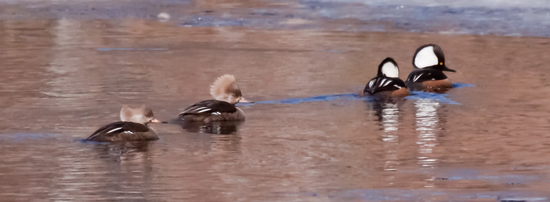 Hooded Mergansers, also called Hoodies, two hens on left and two drakes on right. You can see that one hen and one drake have crests fully raised which is courting display