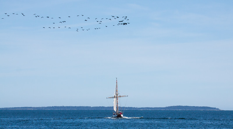 The Jolly Breeze sailboat being passed by a migratory ribbon of Double Crested Cormorants, Bay Of Fundy. 72 foot gaff rigged square rigged cutter