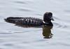 Common Loon, breeding plumage, Phippsburg Maine