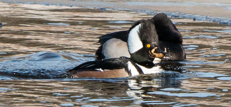 Hooded Merganser drake with crab. Behind is a Ring-necked duck, a rare bird to see in the winter months in Maine, January 7, 2014, Woolwich, Maine