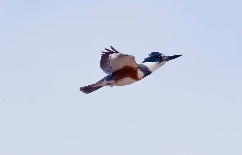 Belted Kingfisher, female in flight, Phippsburg Maine close up, March