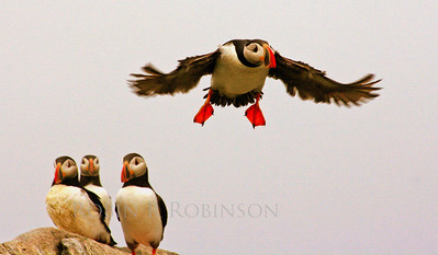 Atlntic Puffins Atlantic Puffin Maine, Clown Bird, Flight, trio watching Maine