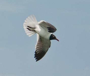 Laughing Gull in flight, PHippsburg, Maine