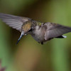 Ruby-throated hummingbird, female in flight. These are the smallest birds in Maine. Phippsburg Maine mid August