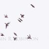 Cedar Waxwings take flight, flock, birds in Phippsburg, Maine
