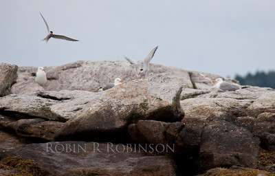 Common terns, adults, bird on left in flight and vocalizing, bird on right has fresh fish in its beak and wings raised, being overseen by three Herring gulls, Goose Rocks, The Branch, Small Point Harbor, Phippsburg, Maine summer