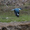 Belted Kingfisher flying with fish that it just caught, Phippsburg, Maine May
