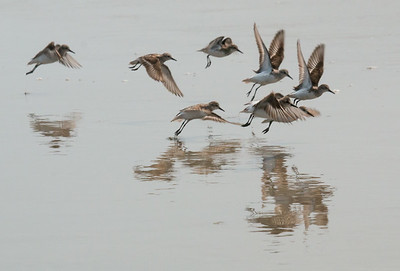 Sanderlings in flight, International Shorebird Survey, July 26, 2014, Seawall Beach, Phippsburg, Maine. Migratory shorebirds staging for migration, July 26, 2014, Seawall Beach, Phippsburg Maine. Most of these birds were Semi-palmated Sandpipers, Semi-Palmated plovers and Sanderlings.