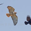 Red Tailed hawk in flight being mobbed by an American crow and a Raven, Phippsburg, Maine