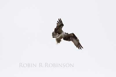 Osprey or Fish Hawk in flight with Flounder, Phippsburg, Maine