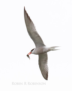 Common tern, adult in flight with fish, Phippsburg, Maine, photograph, photography, image, nature, wildlife