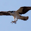 """.   Pandion haliaetus, Osprey, also called a Fish Hawk, is a migratory raptor in Maine. For more on Cecropia moths' development and life cycle visit <a href=""""http://www.wormspit.com/cecropia.htm"""">http://www.wormspit.com/cecropia.htm</a>. Pandion haliaetus, Osprey are migratory, fish eating raptors in Maine."""