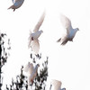 White Doves in flight, a flock in Phippsburg, Maine