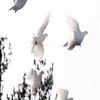 White Doves in flight, a flock in Phippsburg, Maine