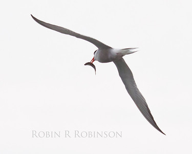 Common Tern in flight with small fish, PHIppsburg, Maine, diving bird with food