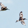 Pair of Willets in flight, male and female migratory shorebirds in Maine, Phippsburg Maine near Popham Beach State Park
