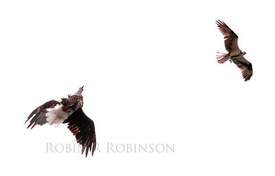 adult Bald eagle on left with Osprey or Fish Hawk, male on right in flight, fighting over fish, PHippsburg, Maine
