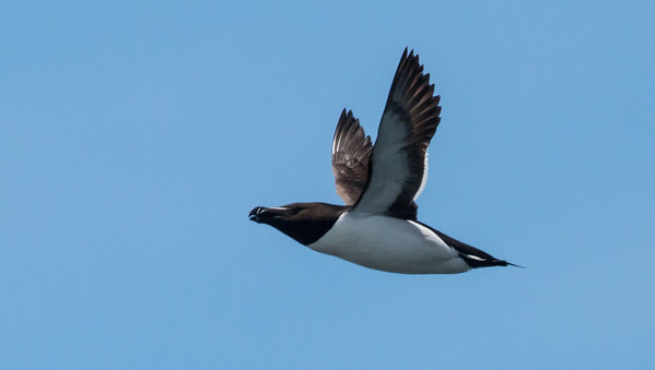 Razorbill in flight, Matinicus Rock, Maine June